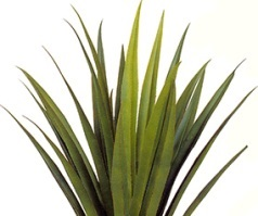 agave plant image