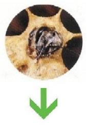 queen bees lay eggs