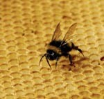 bee on comb image