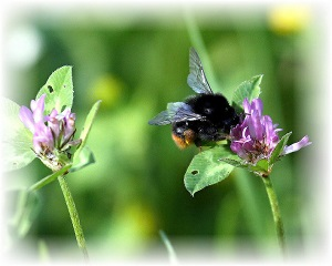 bumble bee image