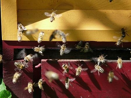 backyard beekeeping image