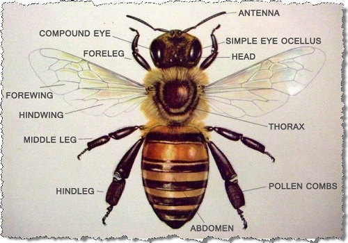 Image result for parts of a bee body