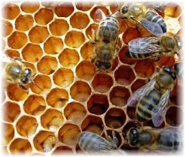how do bees make honey image