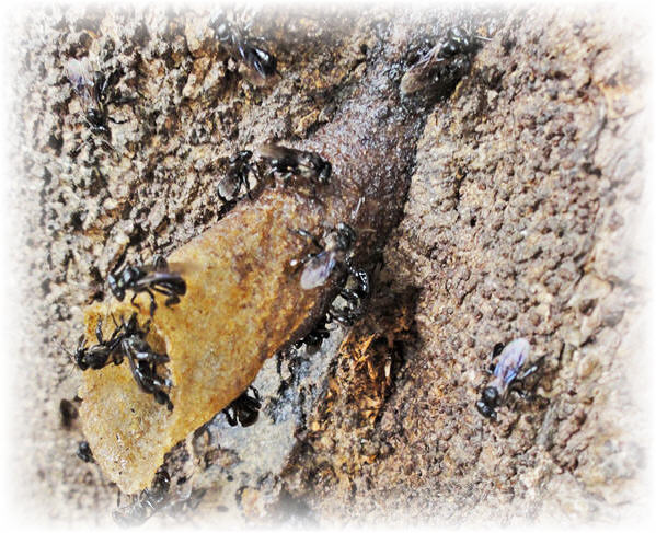 stingless bees image