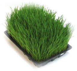wheatgrass image