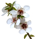 manuka flowers graphic