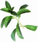 stevia leaf image