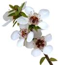 manuka flowers image